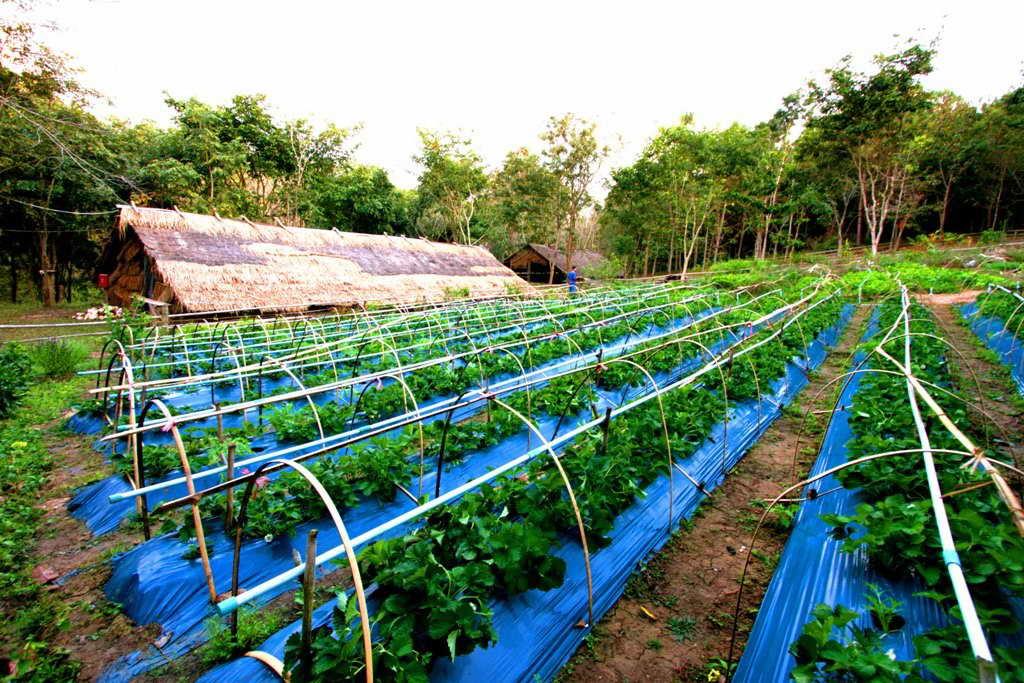สวนผักออแกนิค - ชัชนาถ วู๊ดแลนด์ รีสอร์ท