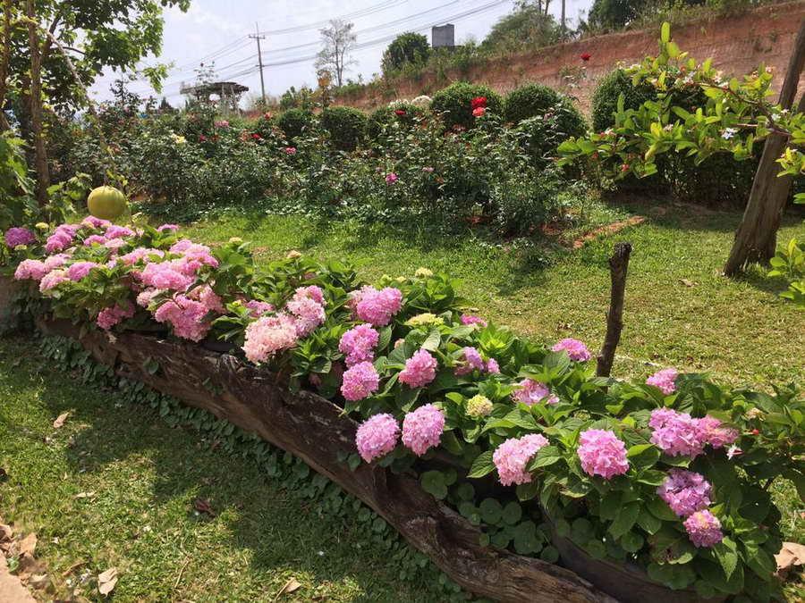 สวนดอกไฮเดรนเยีย - ภูเรือบุษบา รีสอร์ท